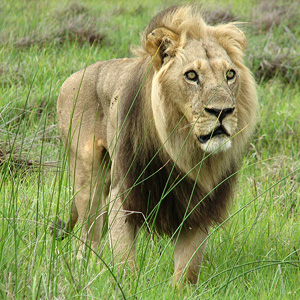 Angry Lion Botswana