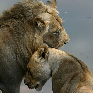 Two lions affection
