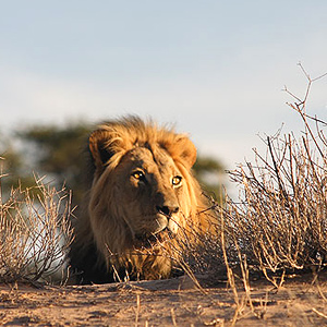 Lion at dune Kgalagadi National Park South Africa