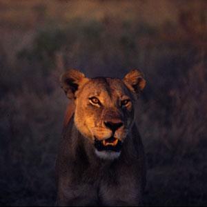 Lioness Chobe Savute