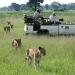 Lions at Kwara Camp Botswana