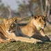 Lions Moremi Game Reserve Botswana