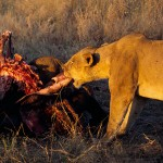 Lion feeding on buffalo