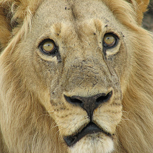 Lion Picture close-up
